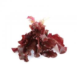 Insalata Lattughino Rosso Vaschetta Italia Bio